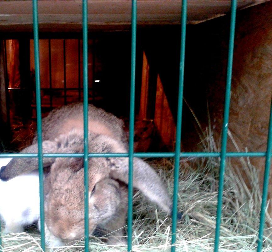Кролик серый - Мила