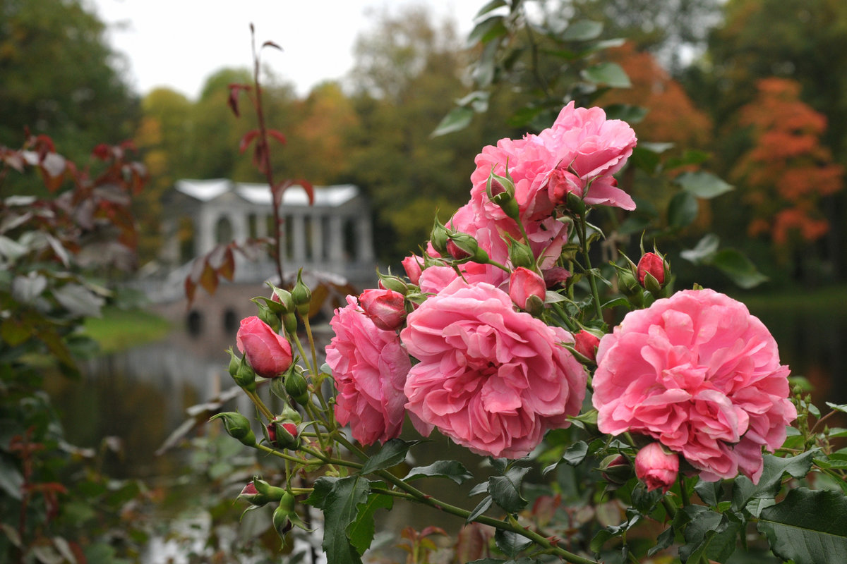 Розы... - tipchik
