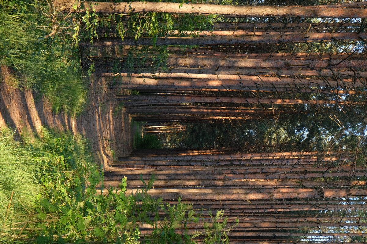 Сосновый лес - Лала Баймукашева
