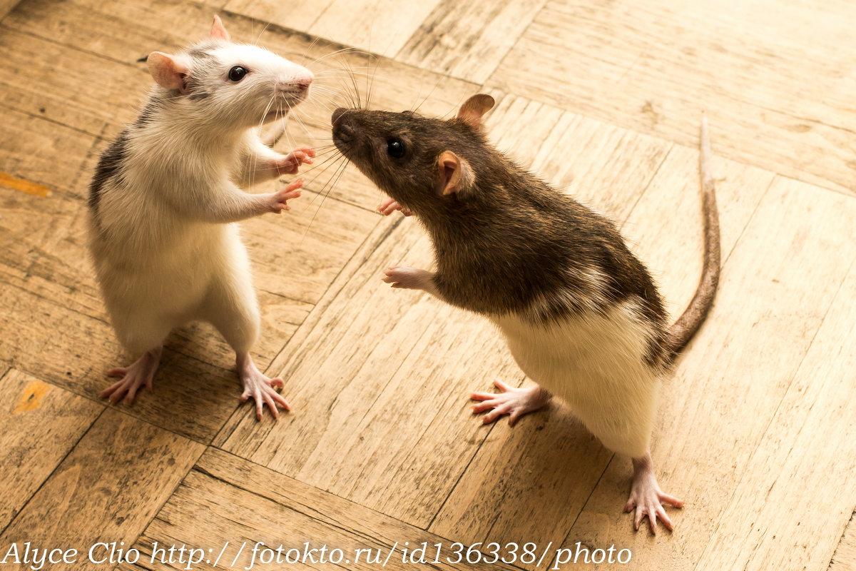 Крысиные бои (по осени особенно свирепы) - Клиентова Алиса