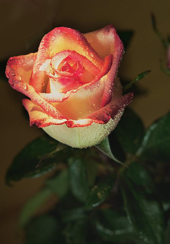 Розы всегда в цвету - Сергей Бурлакин