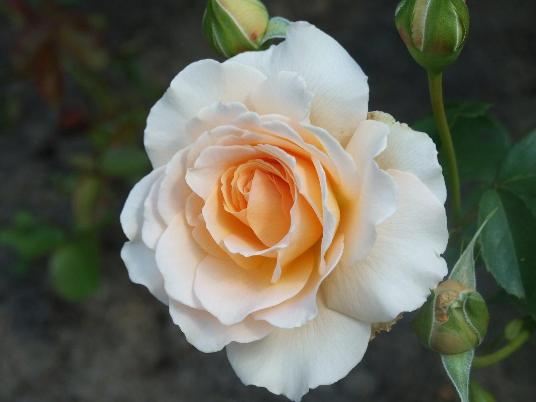Розы Павловска-4 - Александр Петров