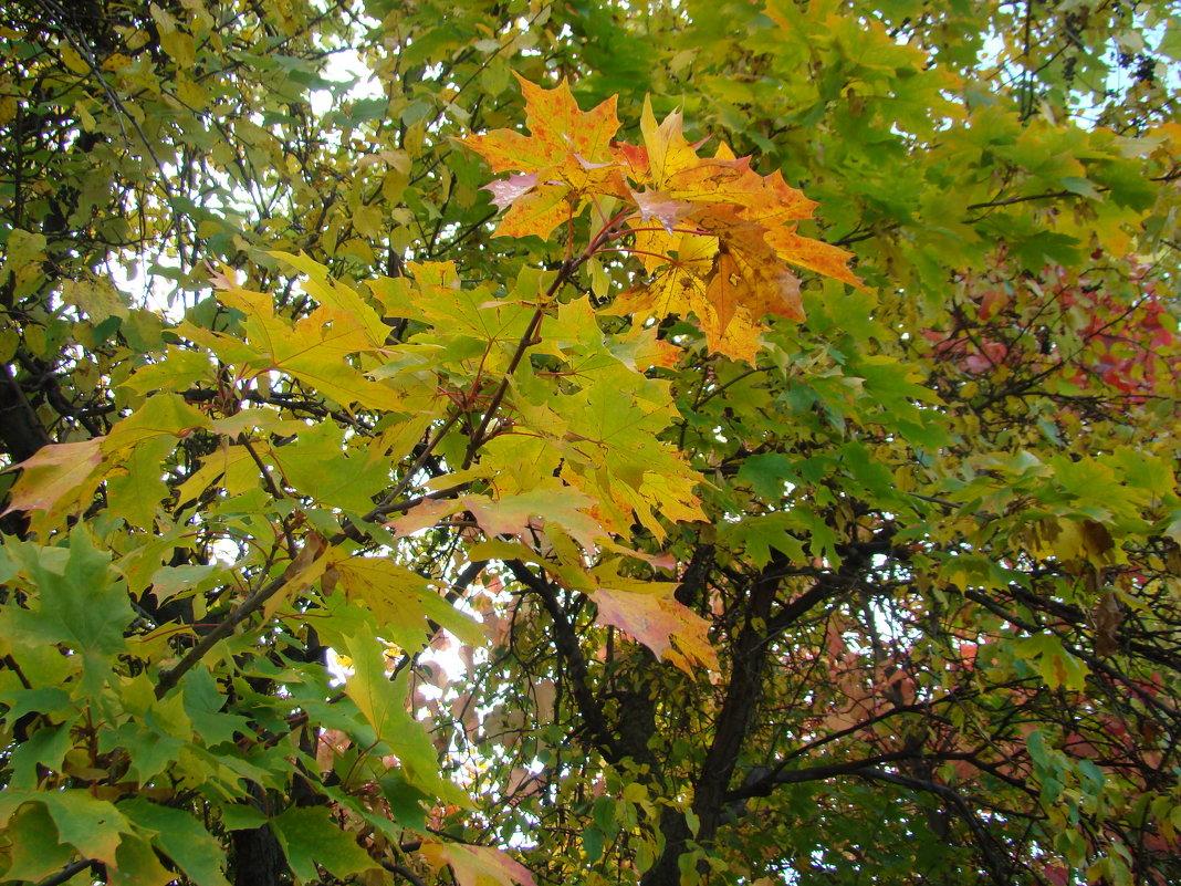 Кленовые листья - марина ковшова