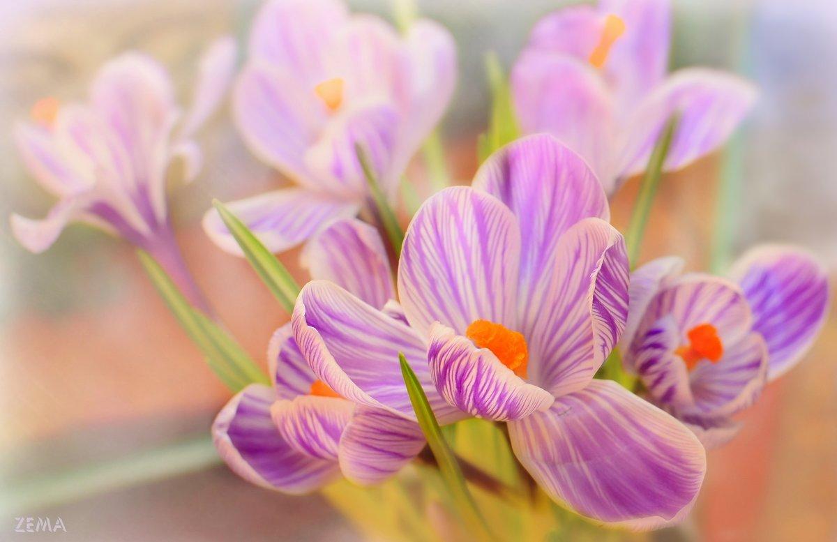Весенний первоцвет - Татьяна Зема
