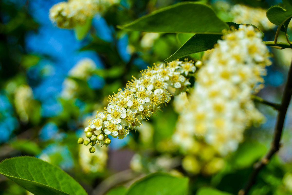 Белые красавицы - Света Кондрашова
