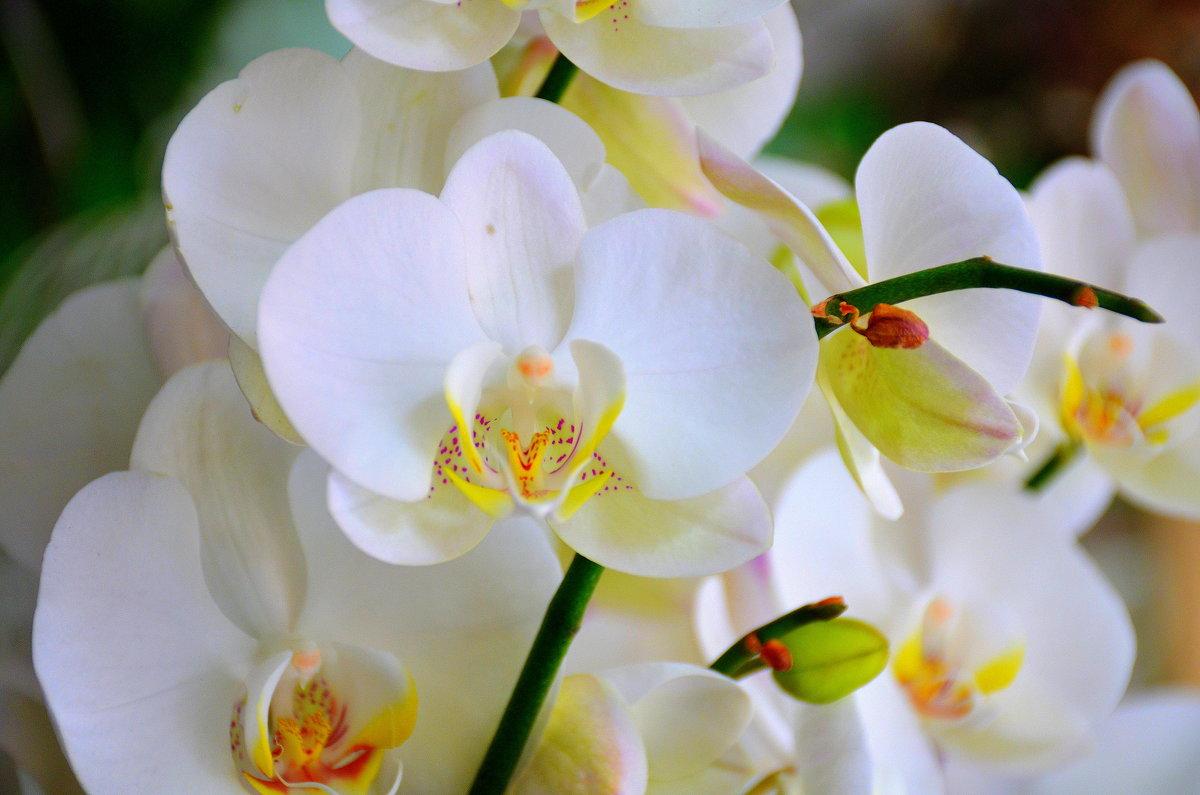 Орхидея. - Оля Богданович