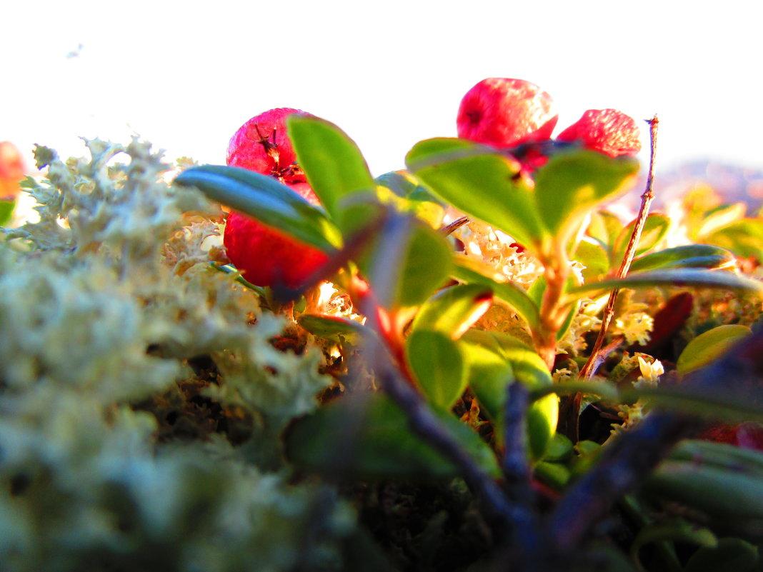 Октябрь...первые заморозки...а ягодки все думают,что лето не закончилось еще... - Людмила Жердева