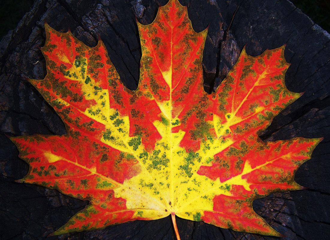 Кленовый лист - оксана косатенко