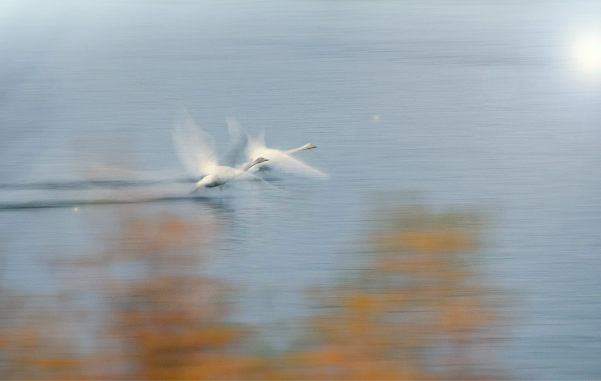 Белые лебеди на рассвете. - Ирэна Мазакина