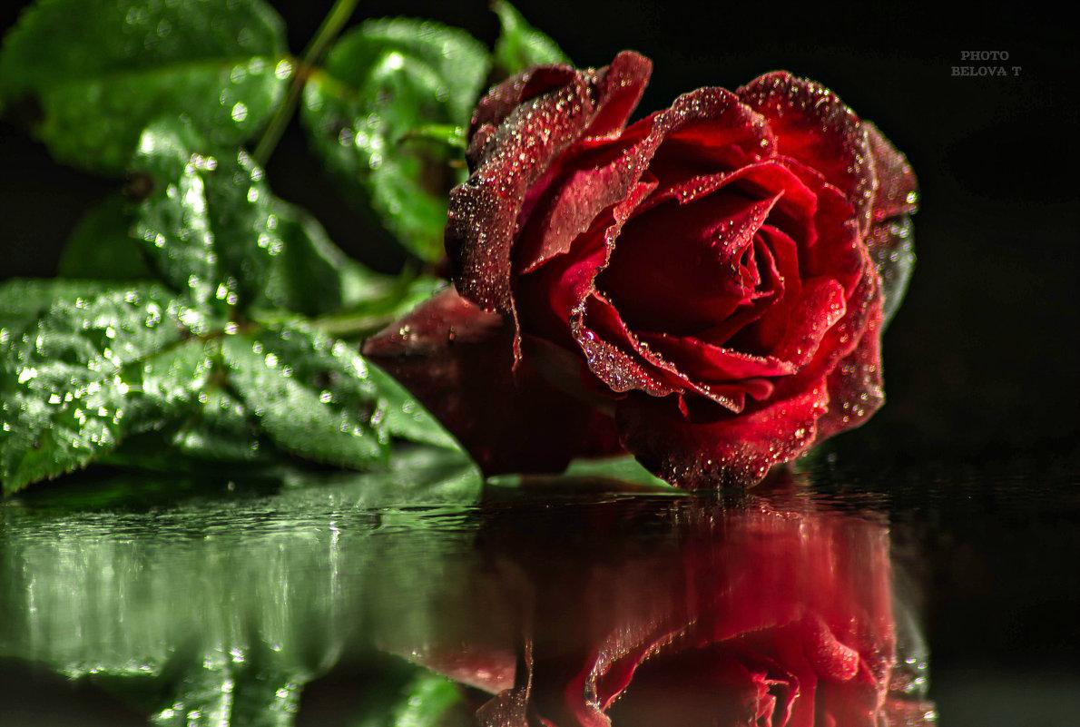 красная роза - эмблема печали - Tatyana Belova