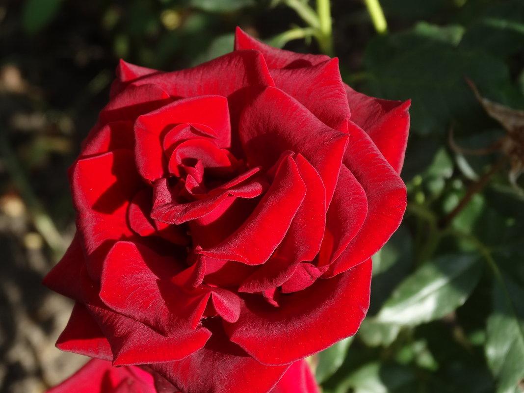 Сентябрьские розы... - Тамара (st.tamara)