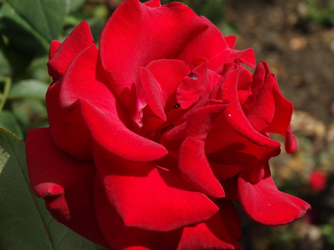 Сентябрьские розы...3 - Тамара (st.tamara)