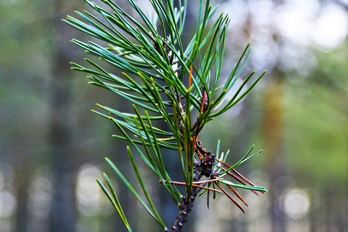 сосновые иголки - petyxov петухов