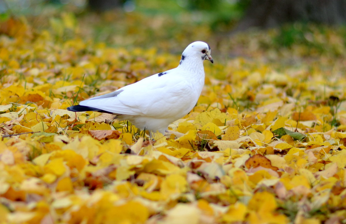 Голубь в осеннем парке - Марина Романова