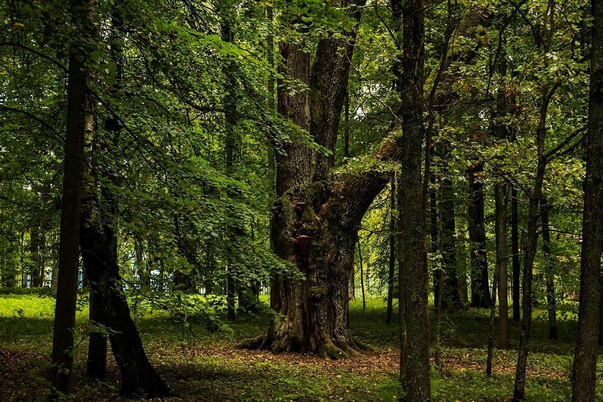 Вековой дуб - Александр