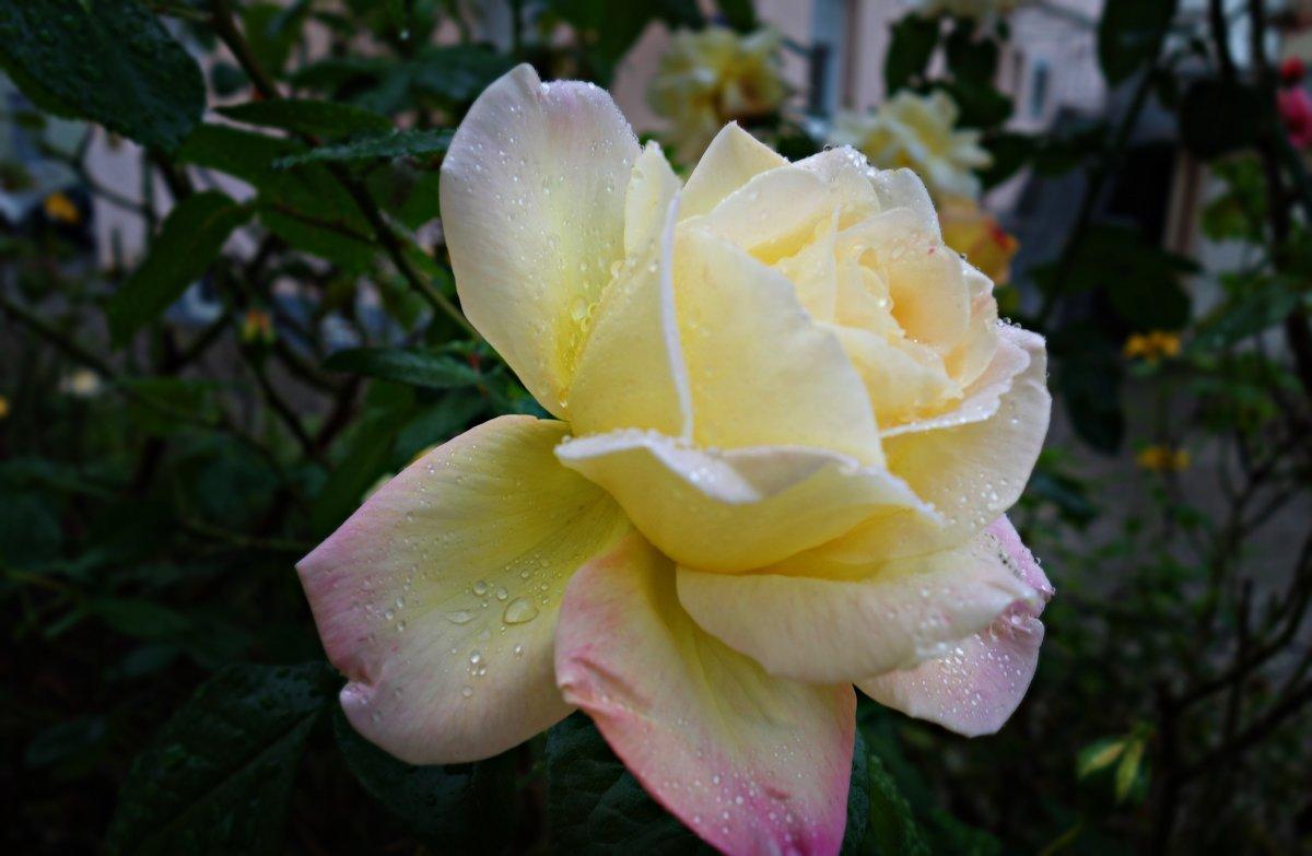 Я слышу шум дождя. Дождь с розой говорит... ... - Galina Dzubina