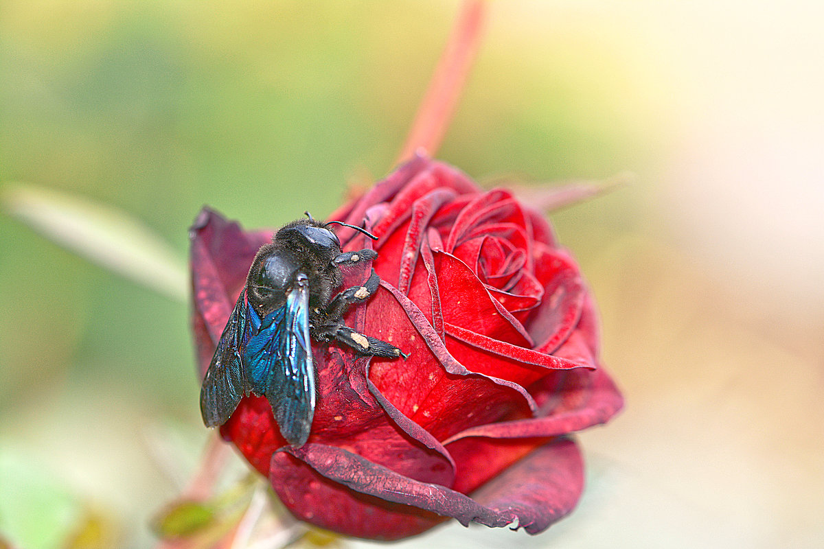Жук и роза. - Евгений Кузнецов