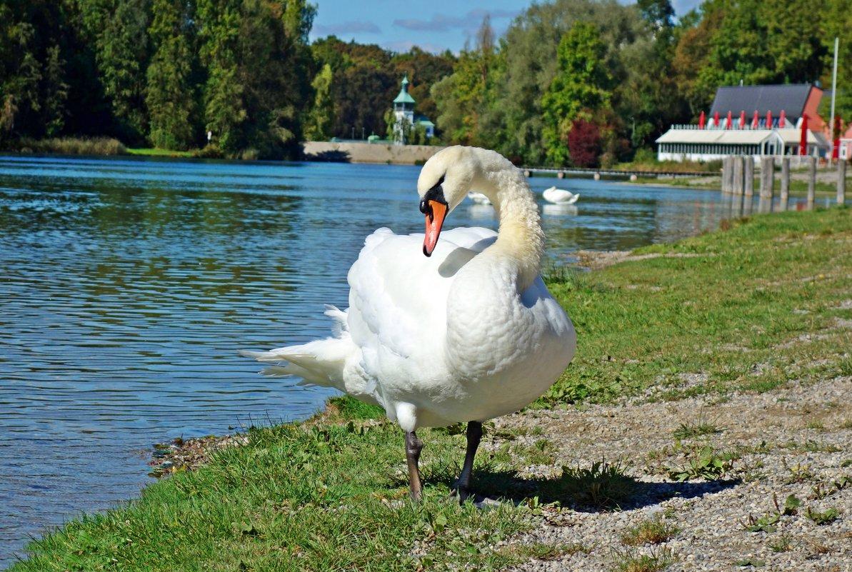 Белые лебеди - птицы прекрасные! - Galina Dzubina