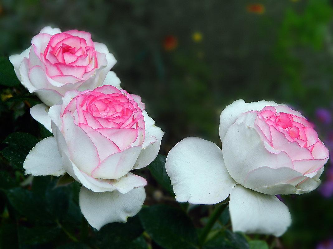 Как хороши, как свежи были розы! - Вячеслав Платонов