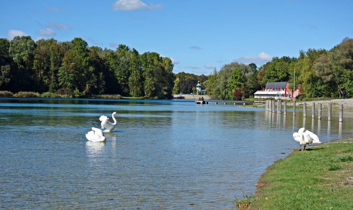 Лебеди вернулись на городское озеро. - Galina Dzubina
