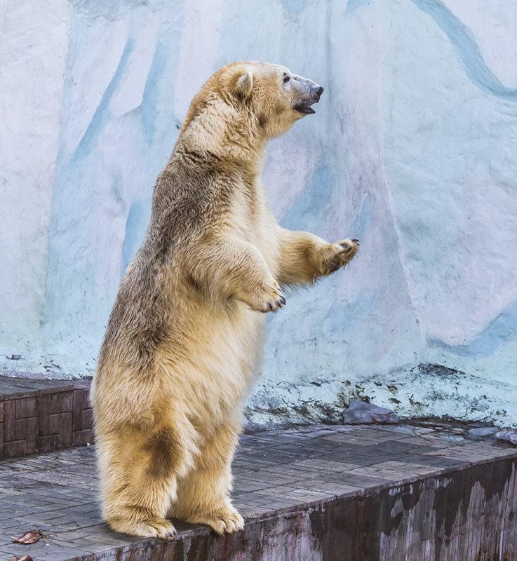 Полярный медведь - Nn semonov_nn