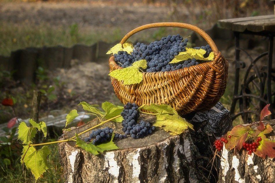 Виноградный пленэр - Ирина Приходько