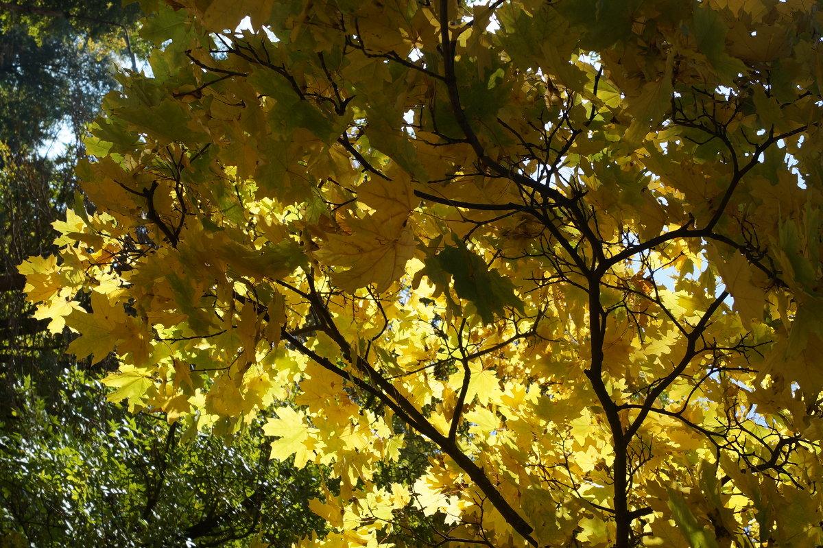 Солнце сквозь листья - Gal` ka