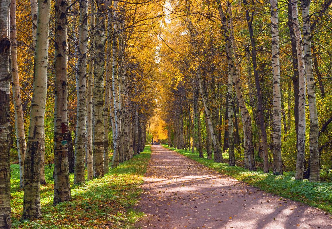 Осень на Берёзовой аллее - Виталий