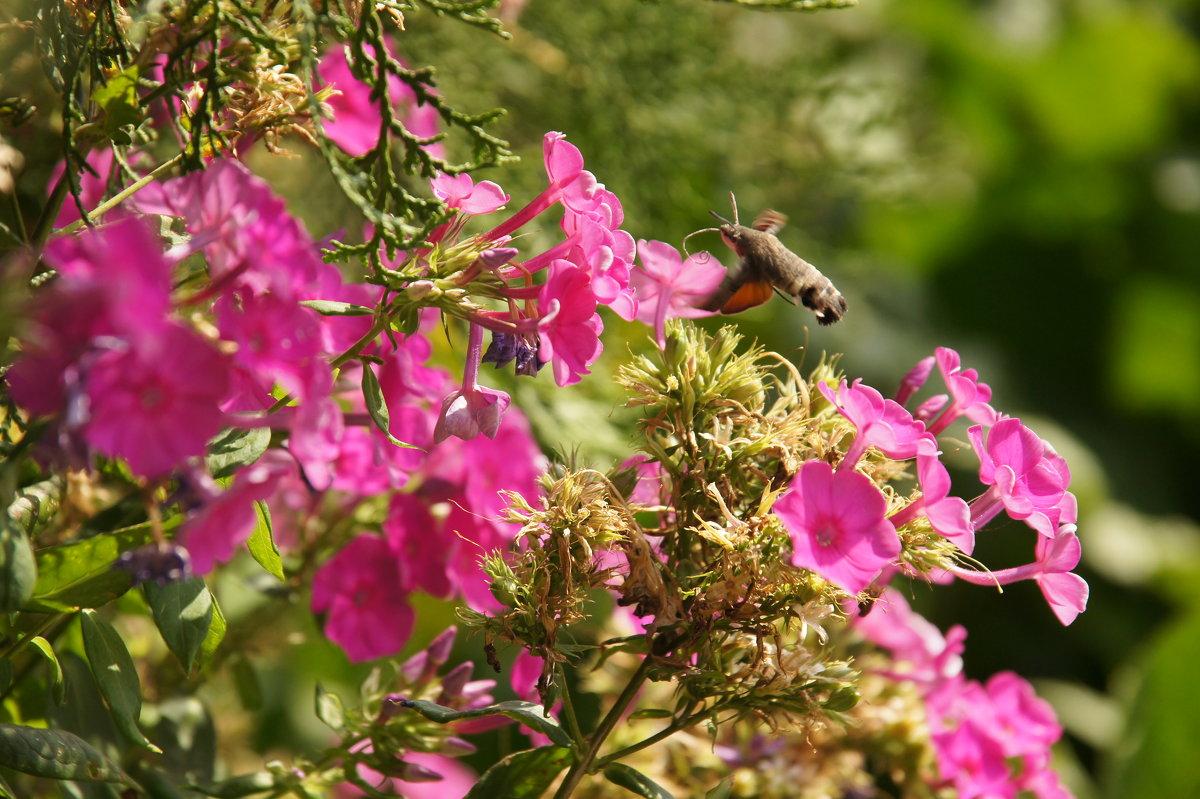 Бабочка бражник - Наташа Федорова