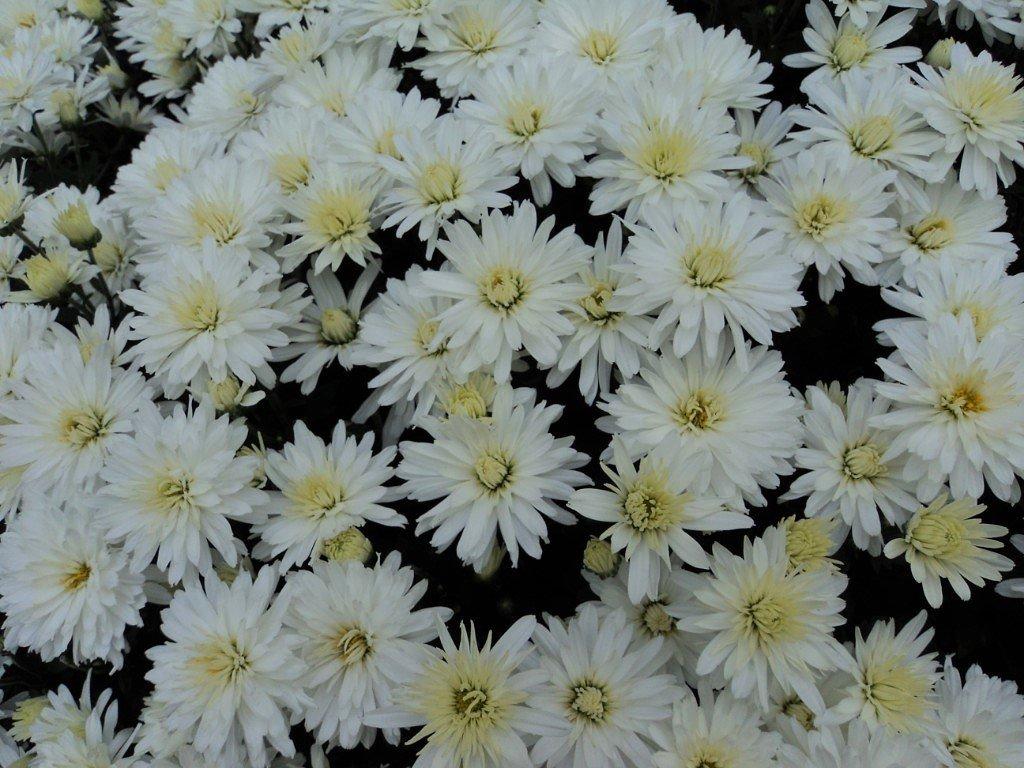 хризантема - kuta75 оля оля