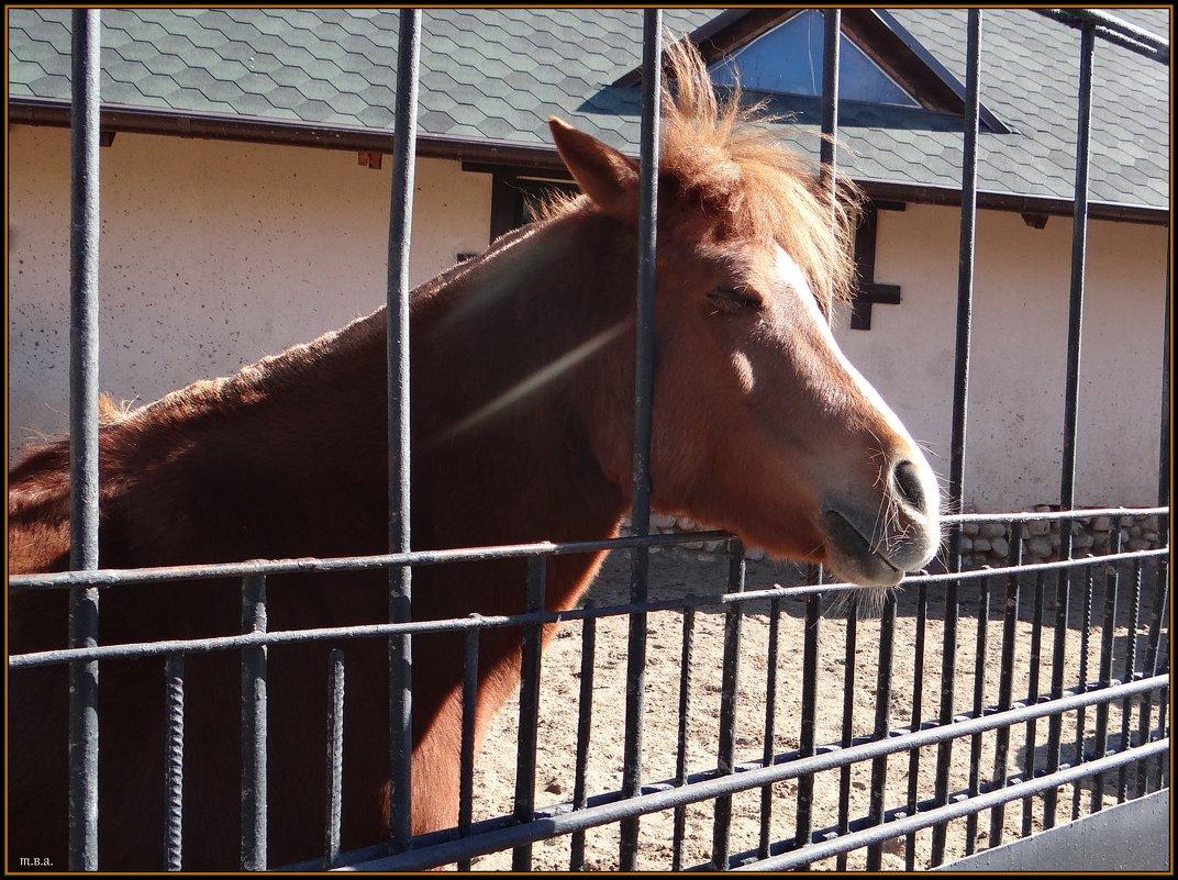 Лошадь Пржевальского - Вера
