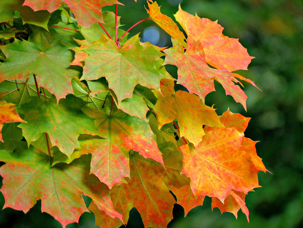 Кленовые листья - Клара Леоненко
