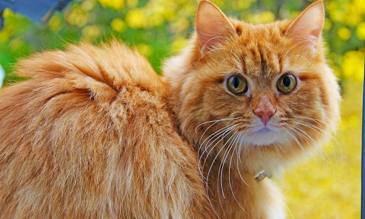 рыжий кот - Краснов  Ю Ф