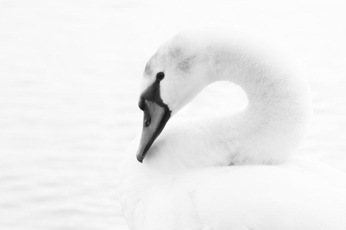Лебедь - Sergey Nechaev