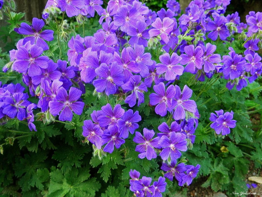 Фиолетовые цветочки - Nina Yudicheva