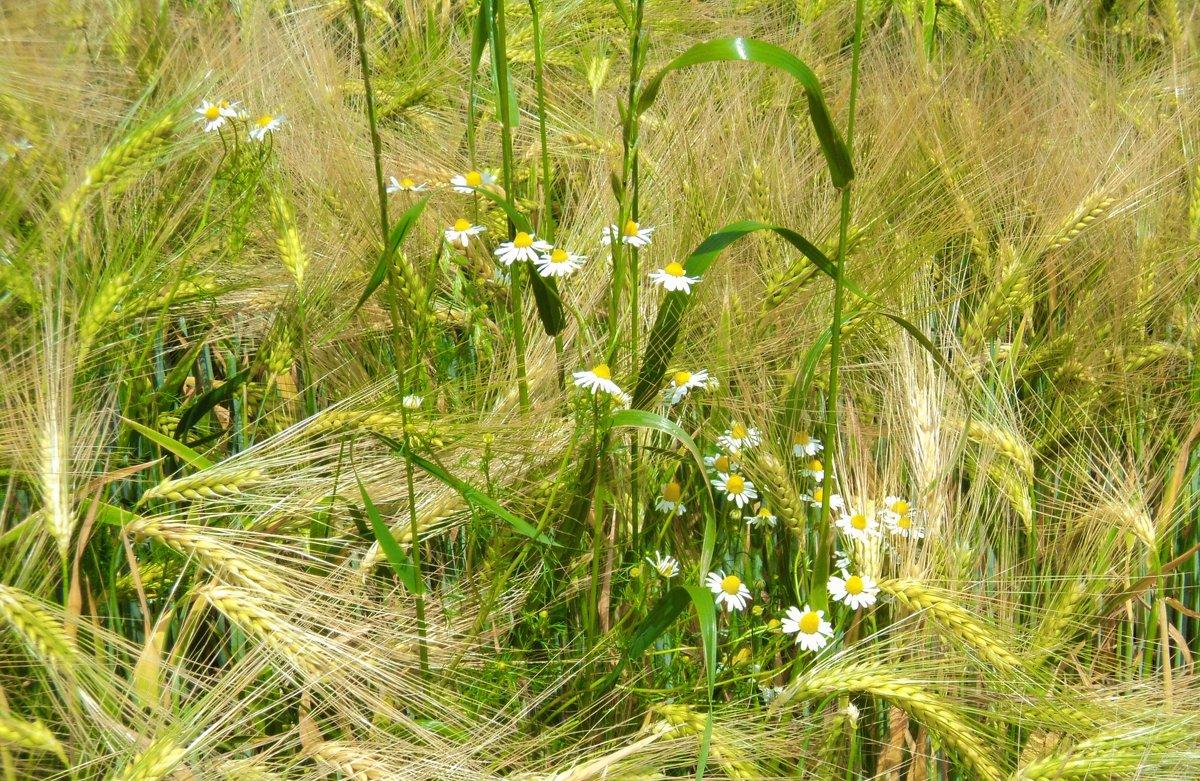 пшеничные кружева - kuta75 оля оля