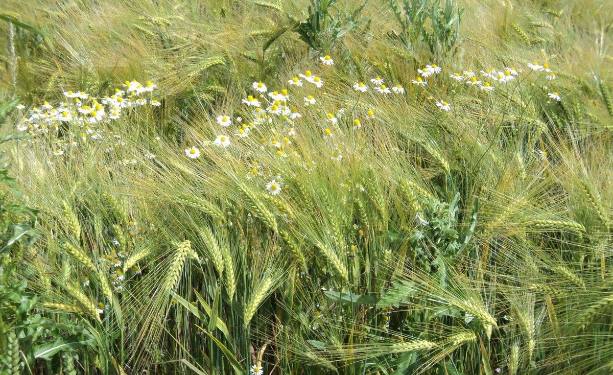 пшеничная нежность - kuta75 оля оля
