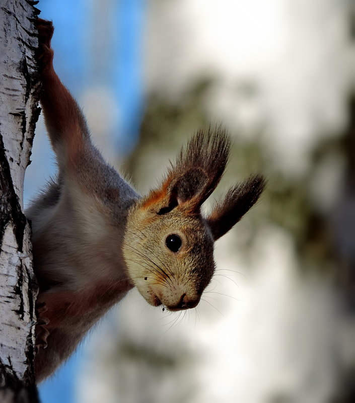 Белка обыкновенная (sciurus vulgaris).Западная Сибирь - Наталия