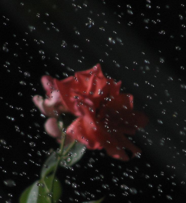 Эксперимент. (Роза днем во время автополива) любимое, лайков мало, что не так? - Yulia Deimos
