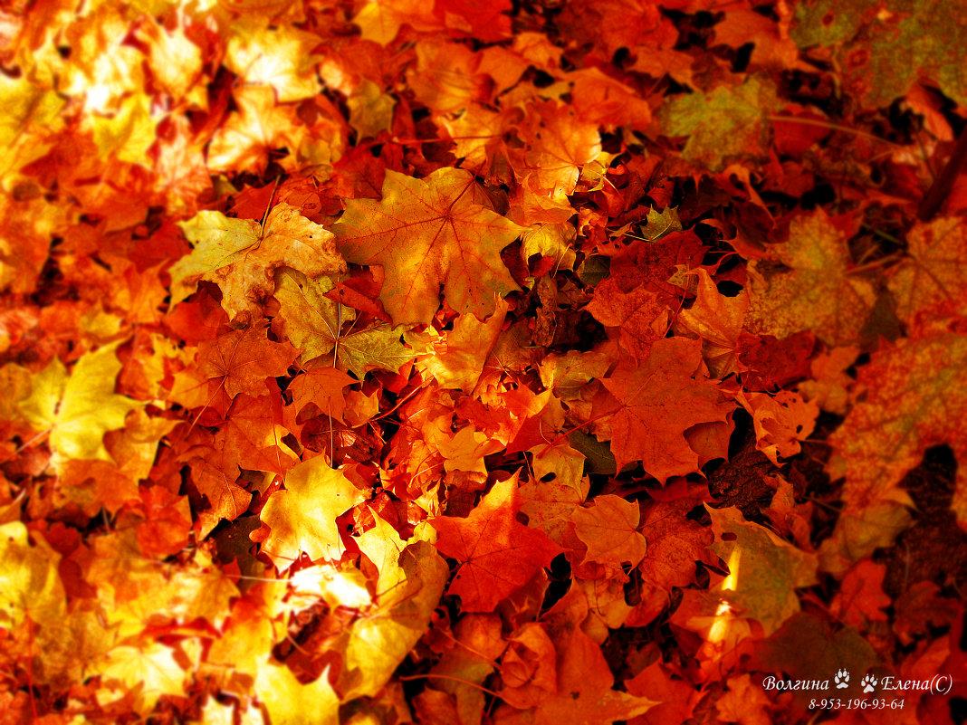 ковер осенних листьев - Елена Волгина
