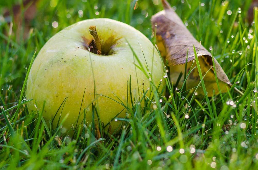 Яблоко на траве. - ния
