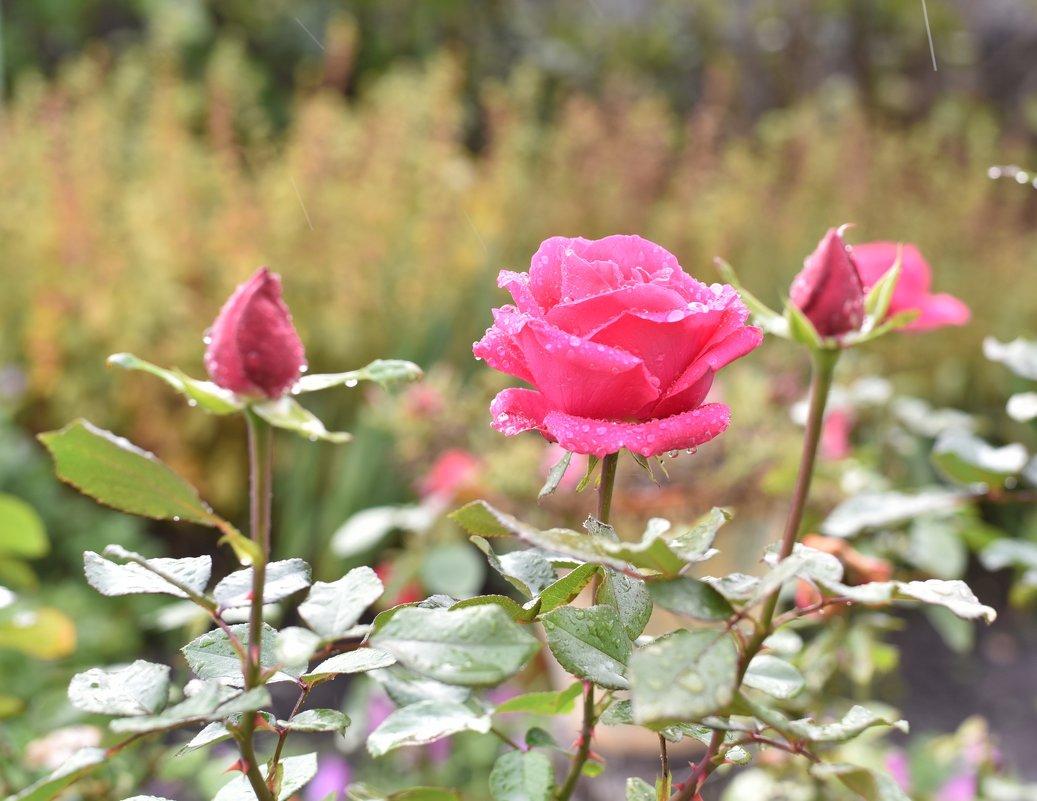 Роза под дождём - Роман