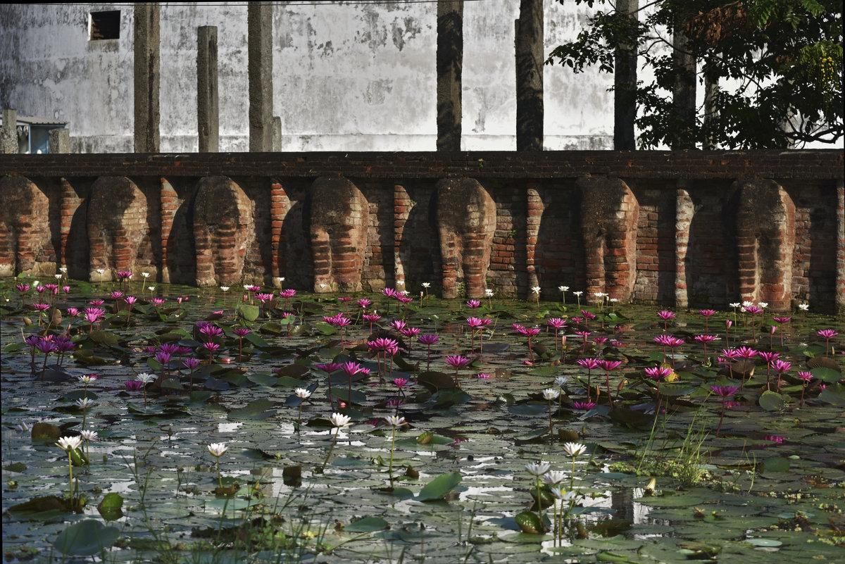 Лиловые лотосы-цветы Будды. Жаркий январь на Цейлоне. - Юрий Воронов