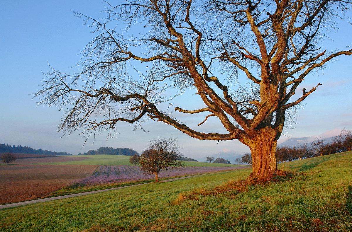 старое дерево на рассвете - Elena Wymann