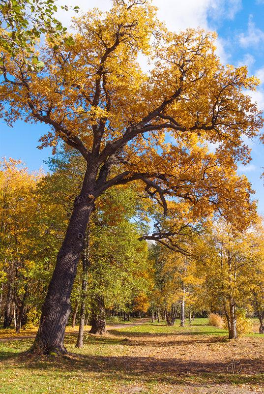 Старый дуб - Виталий