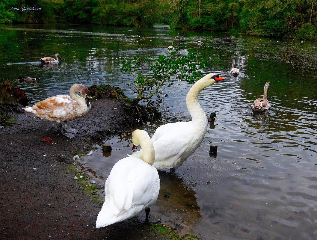 Там, где обитают лебеди... - Nina Yudicheva