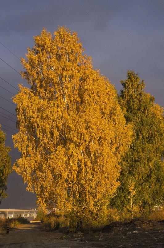 Березы Осень - Evgenii Larin