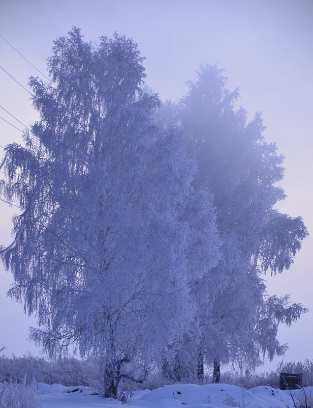 Березы зима - Evgenii Larin