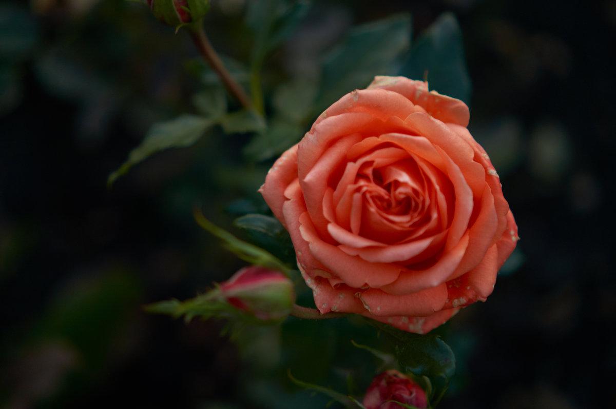 увядающие цветы - Михаил Фролов