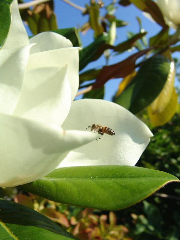 Магнолия и пчелка идет на посадку. - Оля Богданович